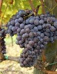 sangiovese-on-the-vine.jpg
